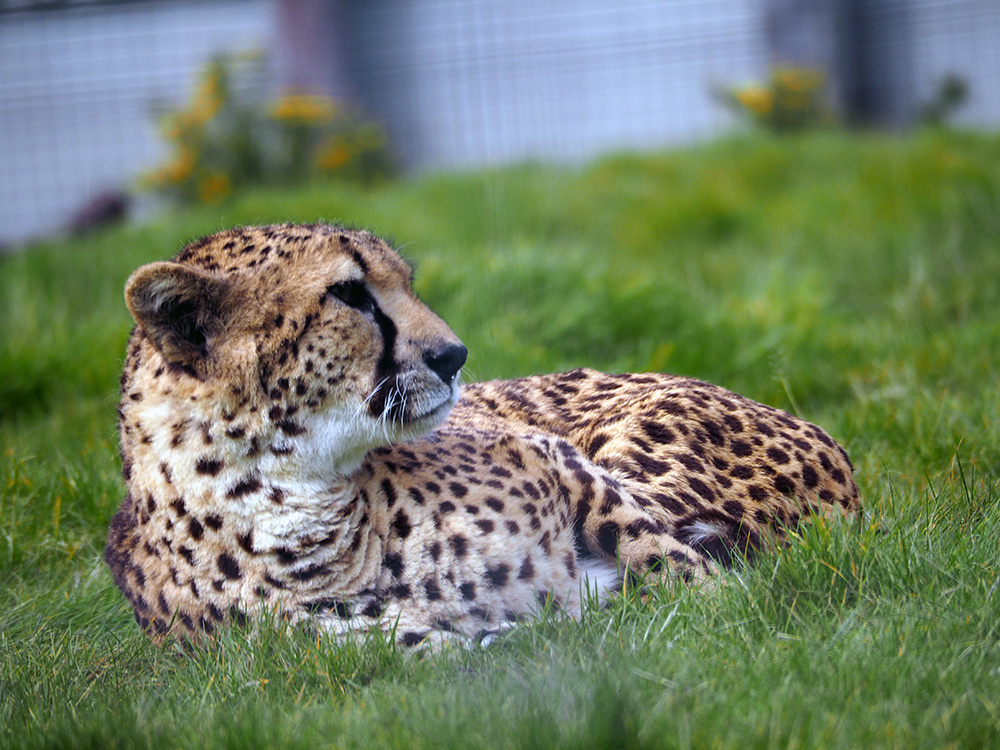 Cheetah at West Midlands Safari Park