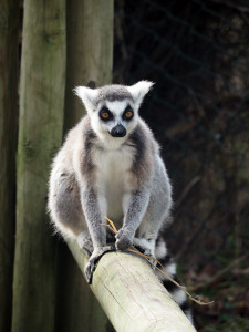 Lemur at West Midlands Safari Park