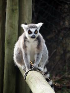 Lemur at West Midlands Safari Park