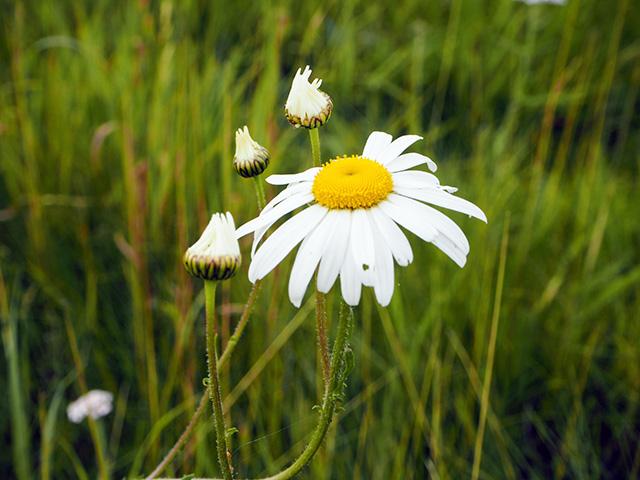 A daisy at Haughmond Abbey