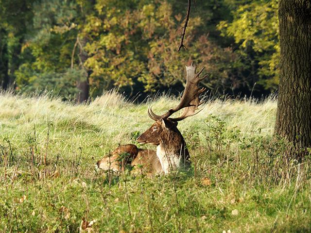 Fallow Deer at Attingham Park