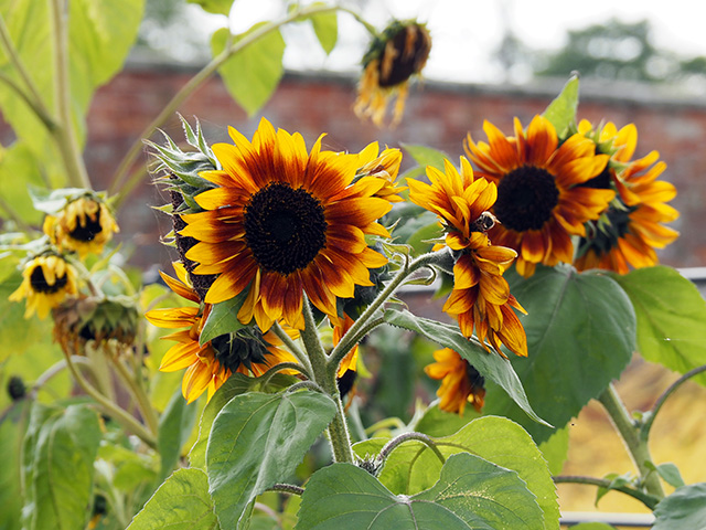 Sunflowers at Attingham Park
