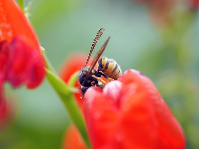 Wasp or Hoverfly?