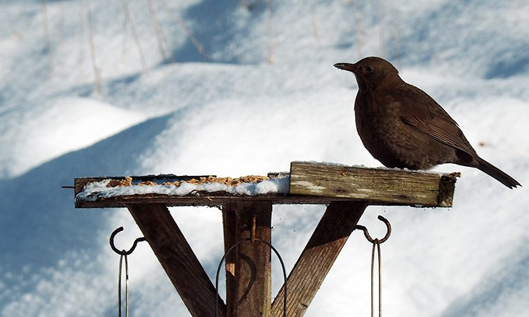 BIrd on bird table in snow