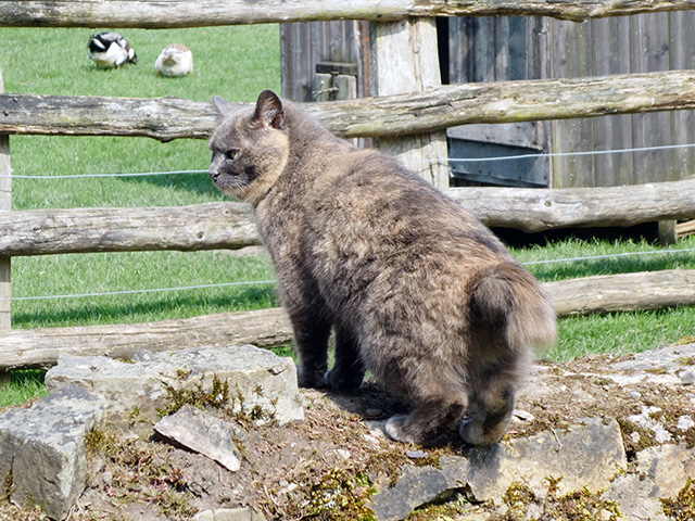 Bobcat, one of Acton Scott's farm cats.