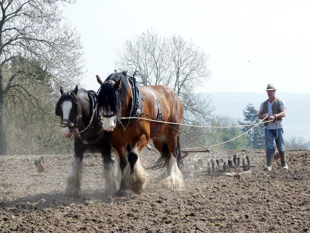 The Shire horses working the field at Acton Scott.