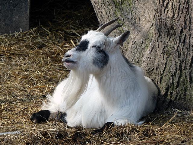 A goat resting.
