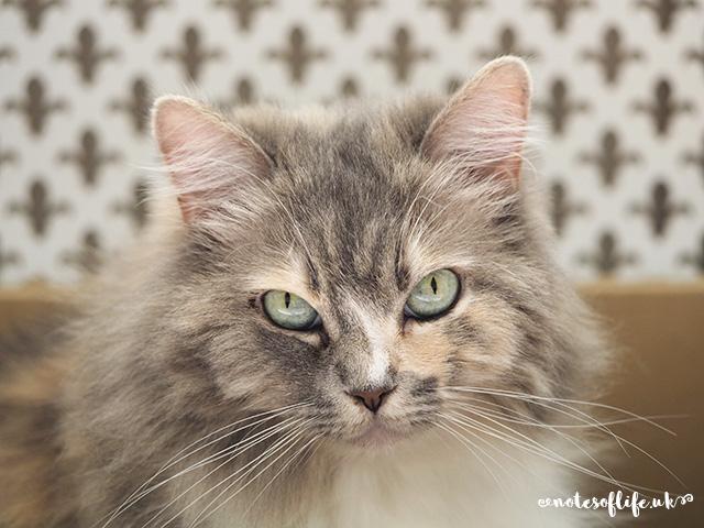 Sugar cat