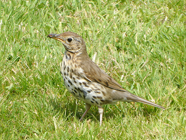 A thrush on the lawn at Glansevern.