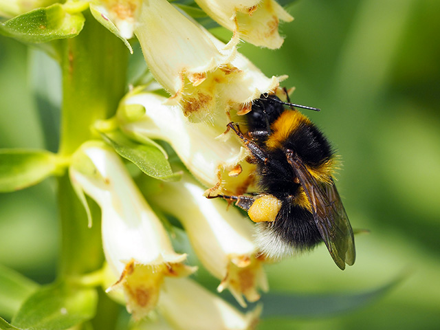 A bee collecting pollen at Glansevern.