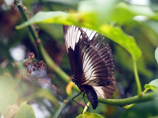 Mocker Swallowtail (Female) butterfly