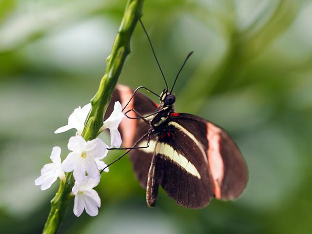 Postman Rosina butterfly