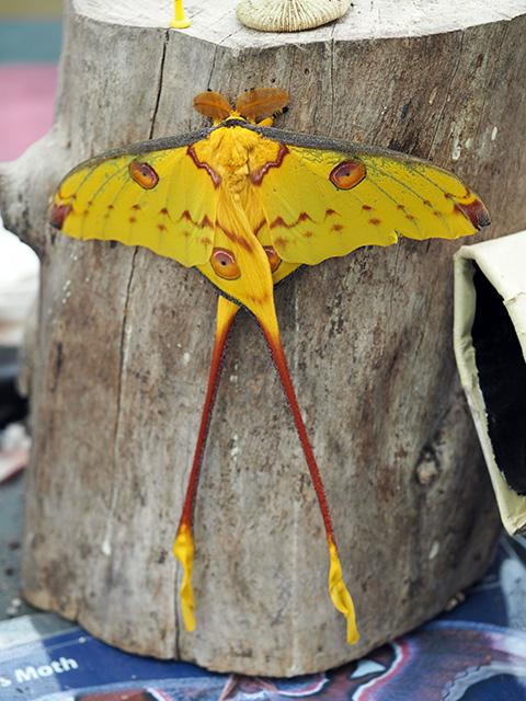 Madagascar Comet Moth