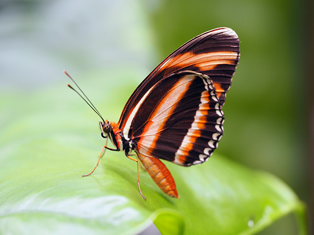 Orange Tiger (Dryadula) butterfly
