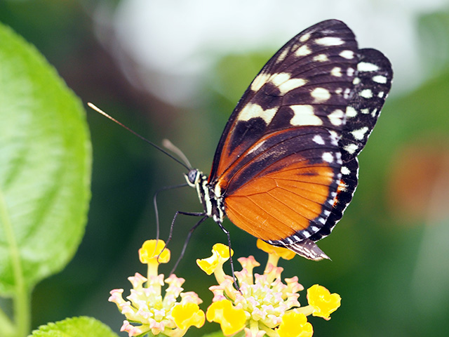 Hecale's Longwing butterfly
