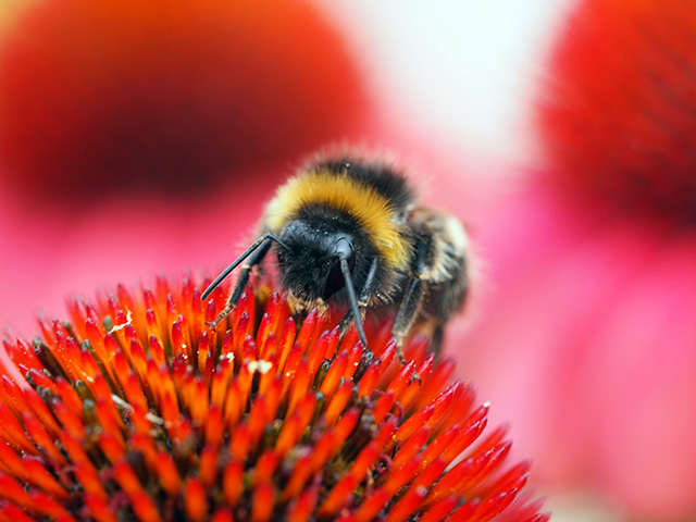 White-tailed bee on echinacea.