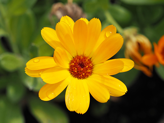 A marigold in the garden.