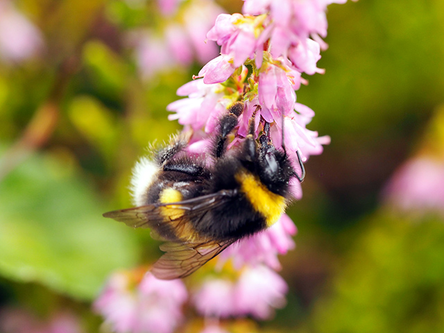 A white-tailed bee on the heather.