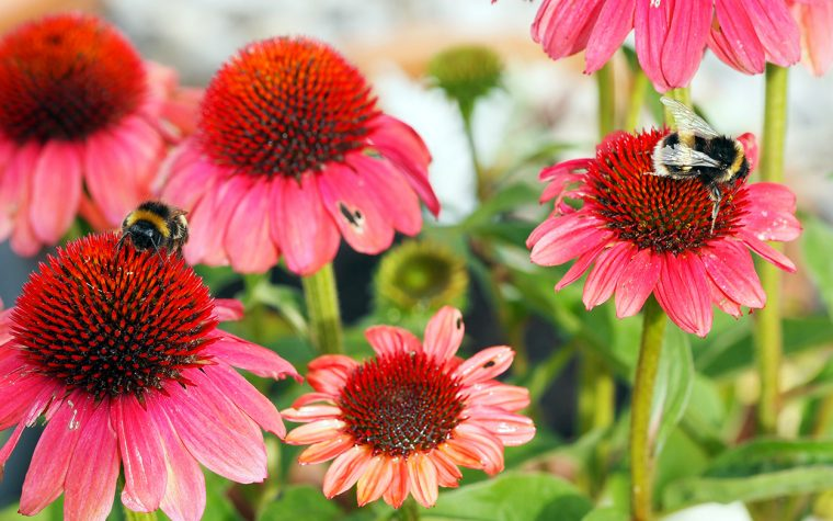 Bees on echinacea.
