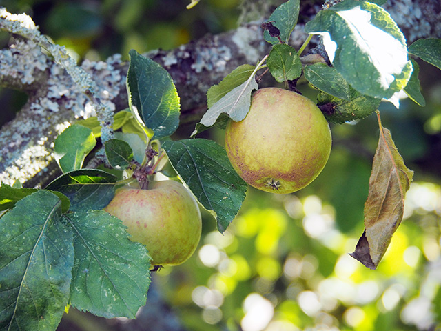 Apples yet to fall.