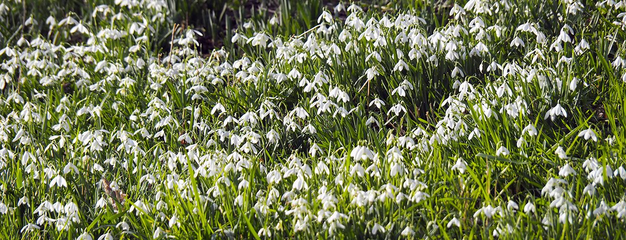 Snowdrops at Stanton Lacy Church