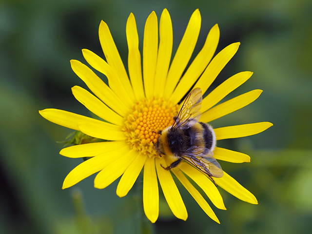 A bee on a yellow daisy.