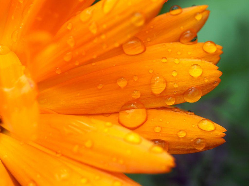 A wet Marigold.