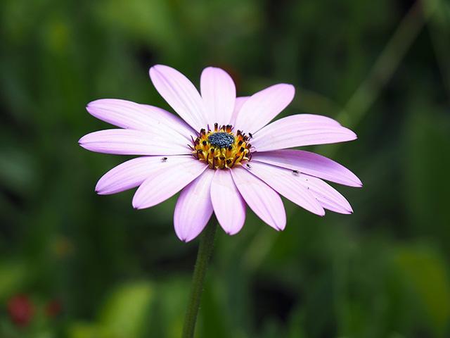 A large daisy.