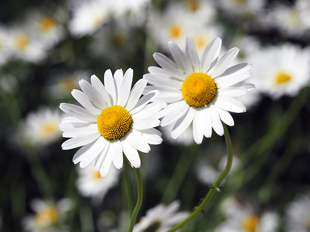 Little daisies.