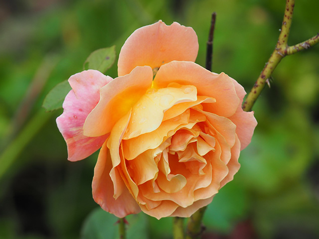 A beautiful rose.