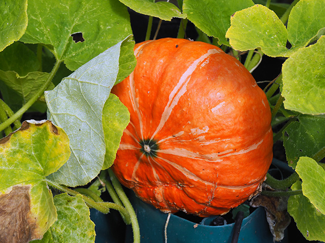 Something I've never been able to grow... A pumpkin!