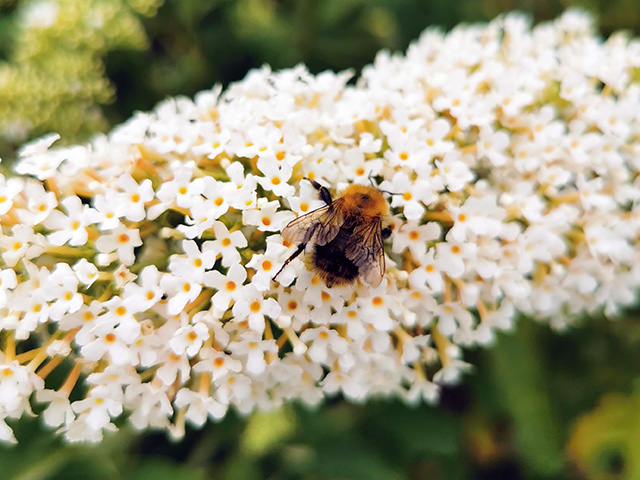 Bee on Buddleia.