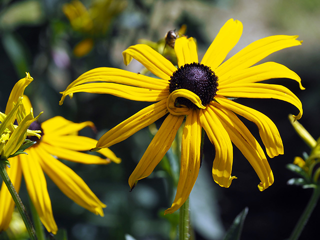 Black Eyed Susan.