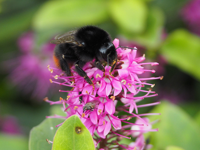 Red-tailed Bumblebee on Hebe 'Pink Candy'.