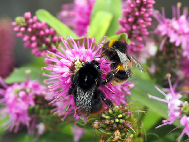 Red-tailed Bumblebee and a White-tailed Bumblebee on Hebe.