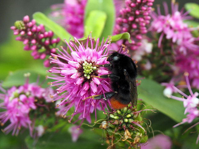 The Red-tailed Bumblebee back on its own on the Hebe.
