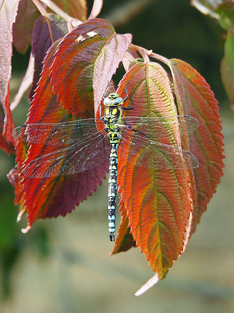 A dragonfly resting.