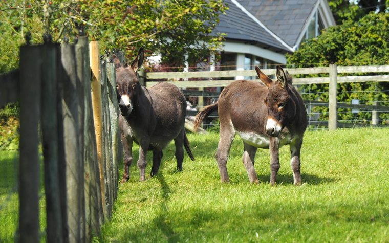 The donkeys at Bryncelyn.