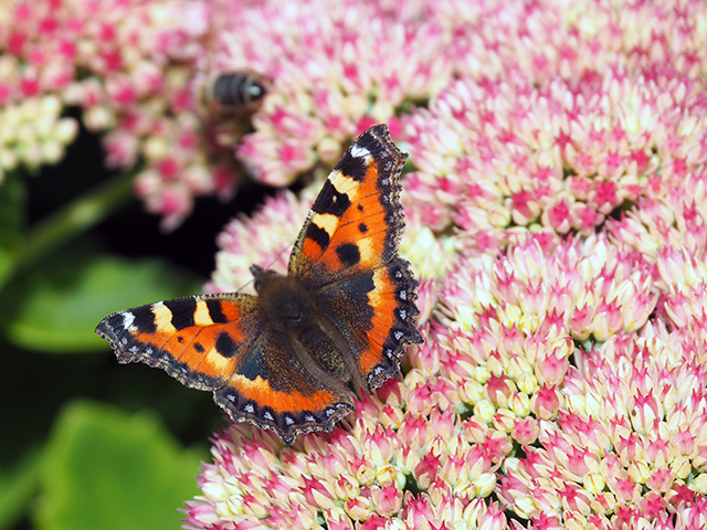 A butterfly on Sedum.