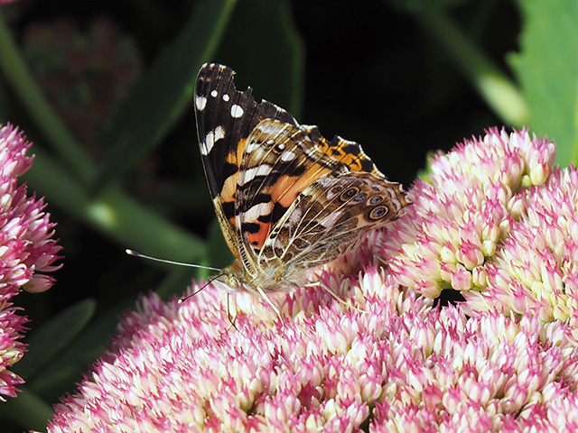 Another butterfly on Sedum.