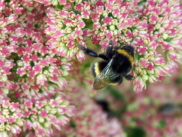 A bee on the Sedum at Bryncelyn.