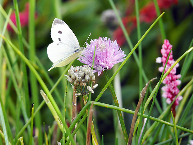 A white butterfly in the garden at Bryncelyn.