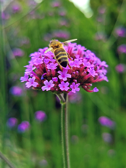 Hoverfly on a flower.