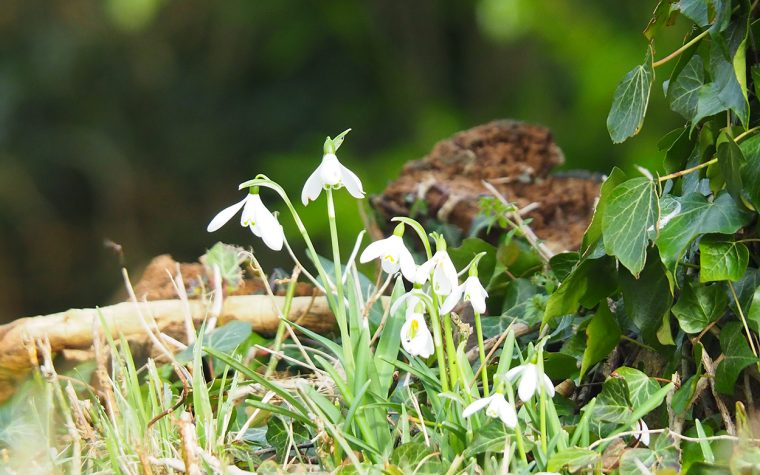 Snowdrops at Bedstone Church.