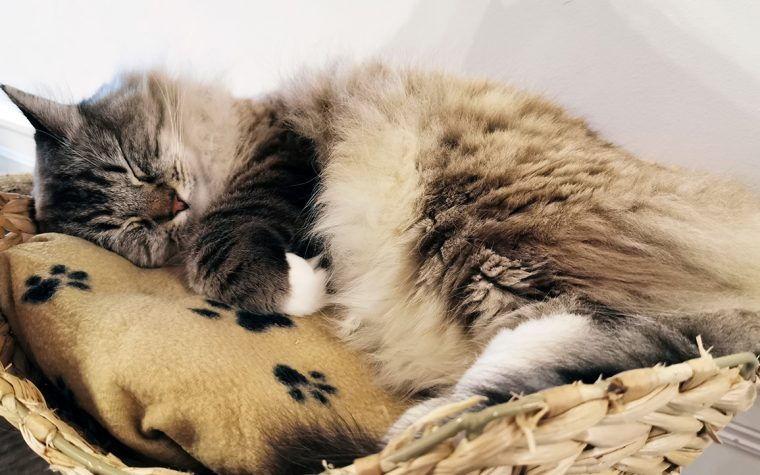 A cat fast asleep at The Cat Cafe in Liverpool.