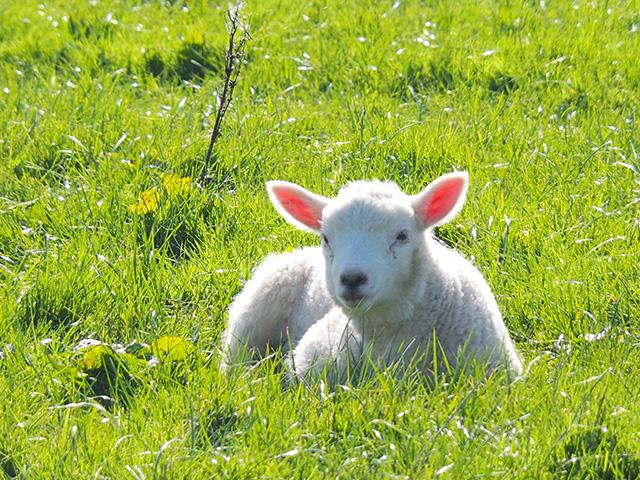 A little lamb.