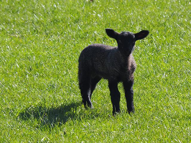 A black lamb.