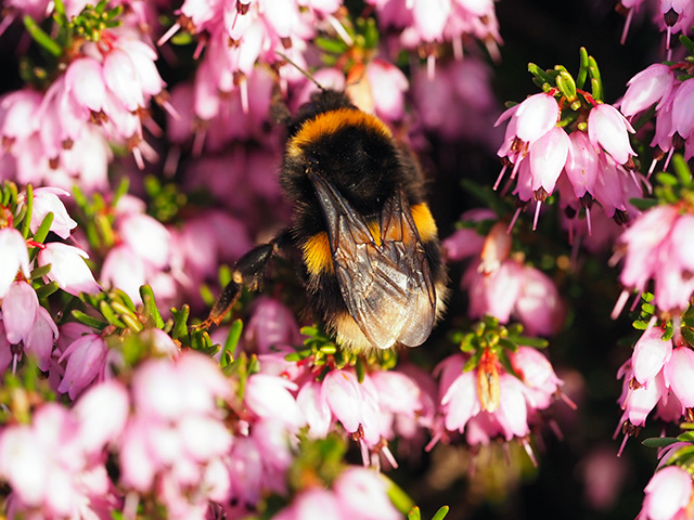 Bee in the heather.