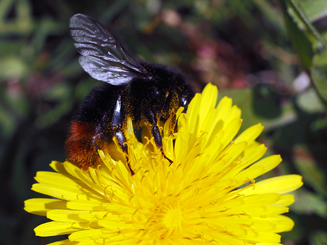 Another bee on a dandelion.