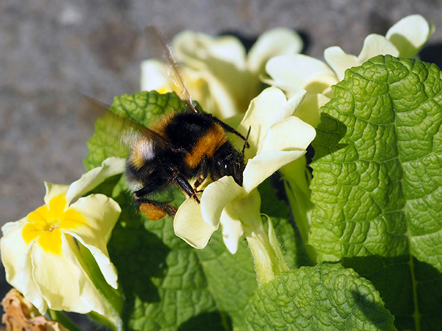 A bee in the primroses.